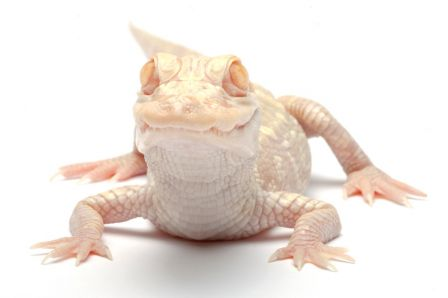 Alligator-albinos.jpg