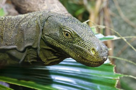 Crocodile Monitor Lizard at Chester Zoo